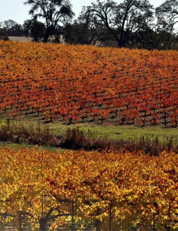 Grape Vines Of Amador In Winter